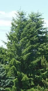 douglas fir pictures. Interesting Douglas Douglas Fir For Fir Pictures L