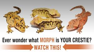 Leopard Gecko Morph Chart The Complete Guide To Crested Gecko Morphs Part 1