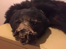 used black bear pelt in hermon black bear pelt