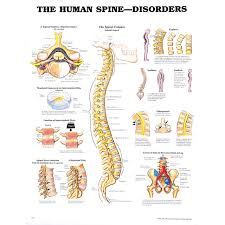 Spine Diagram Chart Wiring Diagrams