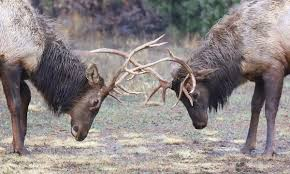 Elk And Deer Antler Growth Should Be Good This Year News