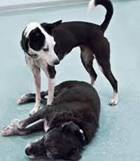 tense dog body