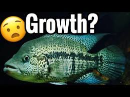 Dovii Cichlid Growth Rate Wolf Cichlid Size