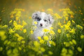 Baby Animal Blur Border Collie Dog Pet ...
