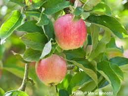 green apple fruit tree. green apple fruit tree