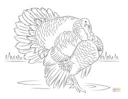 wild turkey coloring pages. Exellent Pages A Wild Turkey In A Field Super Coloring On Wild Turkey Pages