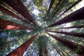 trees in the california redwood forests