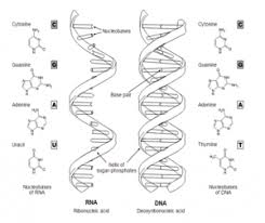 Functions Of Nucleic Acids Nucleic Acids Definition Examples Functions Of Nucleic
