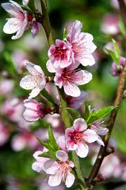 How To Grow Cherry Trees In California  HunkerSouthern California Fruit Trees