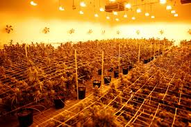 plants in the flowering room at the essence cans dispensary on wednesday dec