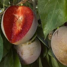 Wild Harvests Cherry Plum An Early Plum Gone WildPlum Tree Flowers But No Fruit