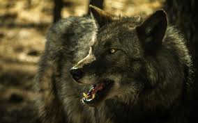 grey wolf hd