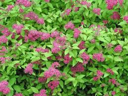 Bushes  Donnau0027s GardenShrub With Pink Flowers