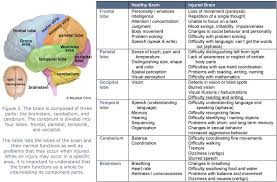 Parts Of A Table Chart Brain Lobes And Function Chart Figure 2 The Brain Is