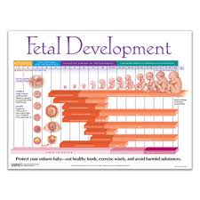 Baby Growth Development Chart Growing A Baby Weekly Pregnancy Chart Childbirth Graphics