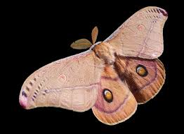 What Did Moths Do Before Lights Moth Wikipedia