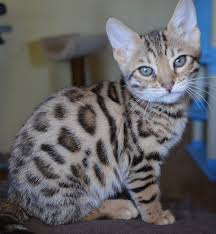 white bengal cat. Delighful Cat White Bengal Cat To White Bengal Cat D