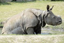 n rhinoceros rhinoceros unicornis animals a z animals n rhinoceros in the warsaw zoo