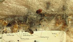 Small Brown Bugs In Bedroom Pictures Of What Bed Bugs Look Like