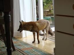 """Résultat de recherche d'images pour """"renards à londres"""""""