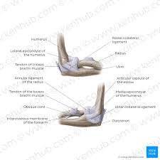 Elbow Joint Anatomy Ligaments Movements Blood Supply