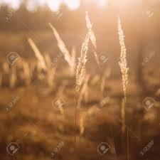 grass field sunrise. Wonderful Sunrise Dry Red Grass Field In Sunset Sunlight Beautiful Yellow Sunrise Light Over  Meadow Summer And R