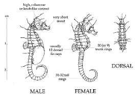 Saddle Up Cowboy The Genus Hippocampus By Henry C Schultz