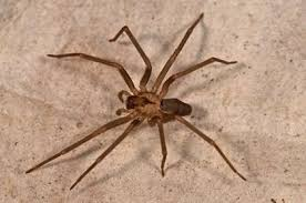 Spider Identification Chart Arkansas How To Identify Venomous House Spiders Dengarden