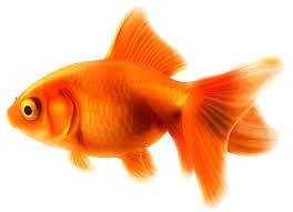 gold fish clip art. Beautiful Clip Goldfish PNG Clipart With Gold Fish Clip Art I