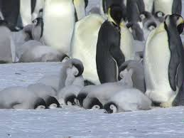 baby emperor penguin hatching. Sleeping Emperor Penguin Chicks With Baby Hatching