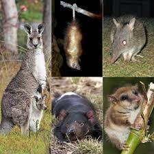 Marsupial Wikipedia