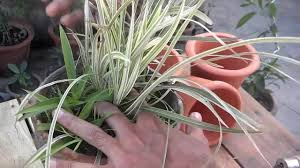 office indoor plants. How To Grow Spider Plant | Plants For The Office Indoor (Urdu/Hindi) A