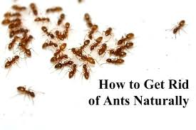 ants in kitchen cabinets. ants in kitchen it is a common problem to deal with summer and rainy . cabinets