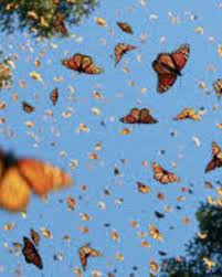 The monarch butterfly is the most familiar butterfly in north america. Butterfly Aesthetics Wiki Fandom