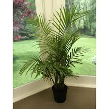 ... enchanting areca palm cats 122 areca palm ok for cats large size ...