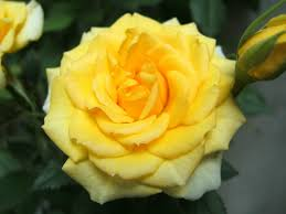 most beautiful yellow rose hd wallpaper