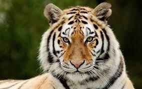 tiger face wallpaper hd. Simple Wallpaper Download Wallpaper 3840x2400 Tiger Predator Big Cat Face Eyes On Tiger Face Hd
