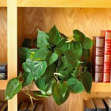 34 philodendron