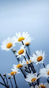 hd 1080x1920 white daisies flowers samsung galaxy s4 s5 wallpapers