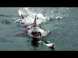 shark attack on humans. Modren Humans Great White Shark Attacks On Humans Caught Tape 2015 Intended Attack T