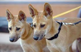 Faces As Wild Australia's Dingoes Dog Fears Extinction For