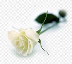 Roses Flowers Wallpapers White Roses Flowers Wallpapers White Long Stem Rose Free