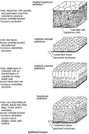 Classification Of Covering And Lining Membranes Complete The Following Chart Epithelial Tissue