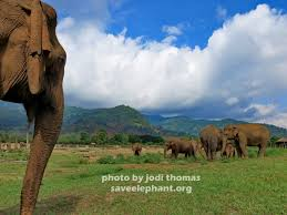 navann archives save elephant foundation online news dao tong at elephant nature park