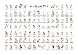 Owl Species Chart Google Search Owl Species Owl