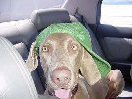 close up a weimaraner dog is laying across the backseat of a vehicle and it