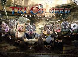 The Many Colors Of The American Bully Tri Color Variations
