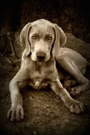 a black and white photo of a weimaraner puppy that is laying in dirt its