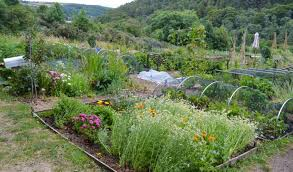 clearing weeds the organic way how to use black plastic sheeting to kill weeds my garden now