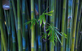 bamboo area rugs the bamboo plant
